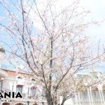 ディズニーランドの桜