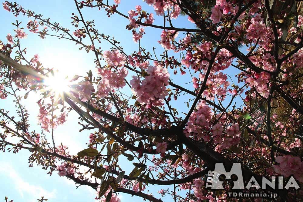春の訪れを告げる河津桜