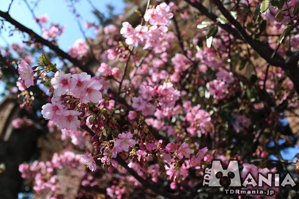 ザンビーニ・ブラザーズ・リストランテ付近に植えられている河津桜
