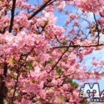 TDSで春の訪れを告げる河津桜