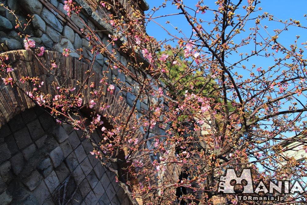 開花宣言直後の河津桜