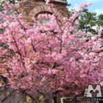 ディズニーシーの河津桜