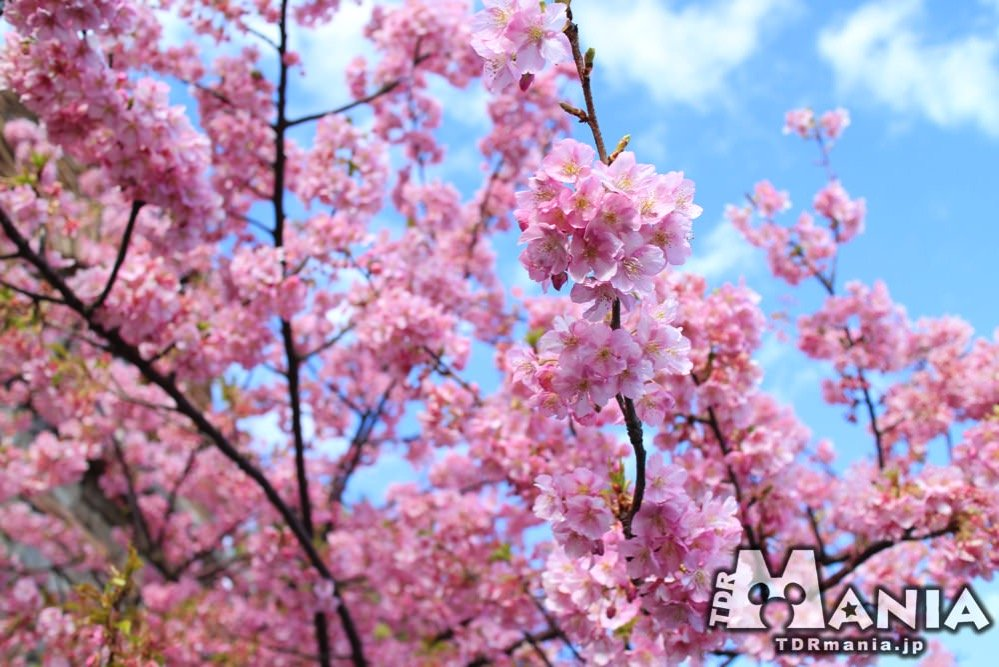 満開となったTDSの河津桜