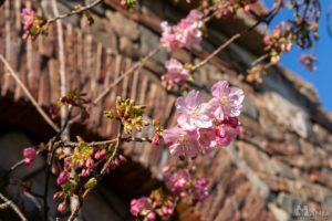 ソアリン 河津桜